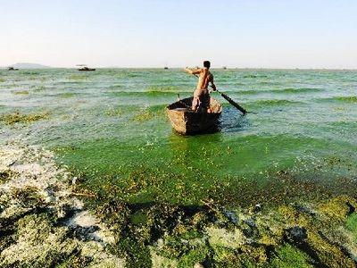 巢湖蓝藻集聚