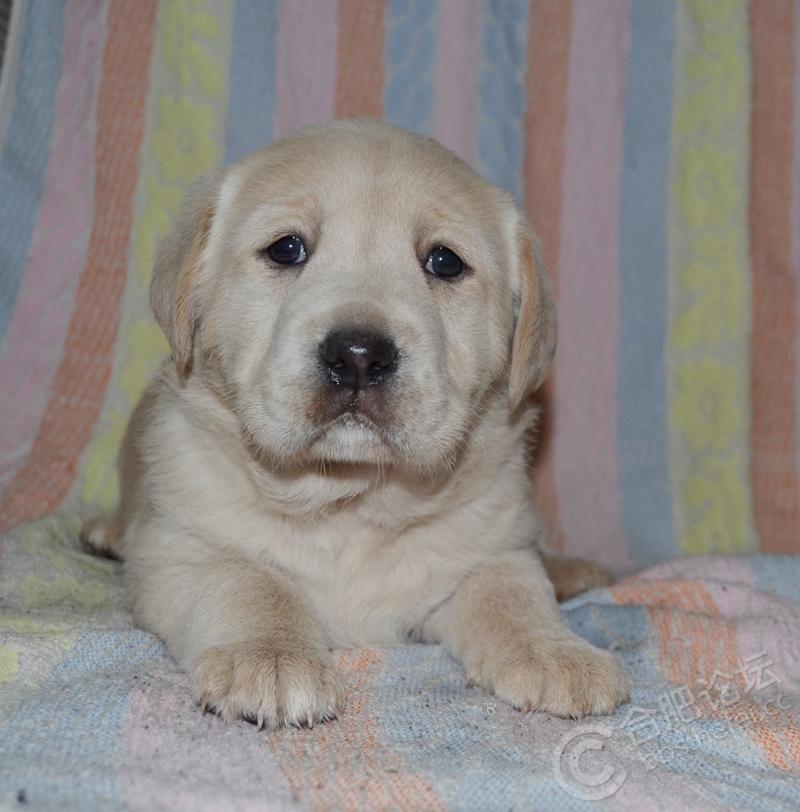 超萌的拉布拉多幼犬