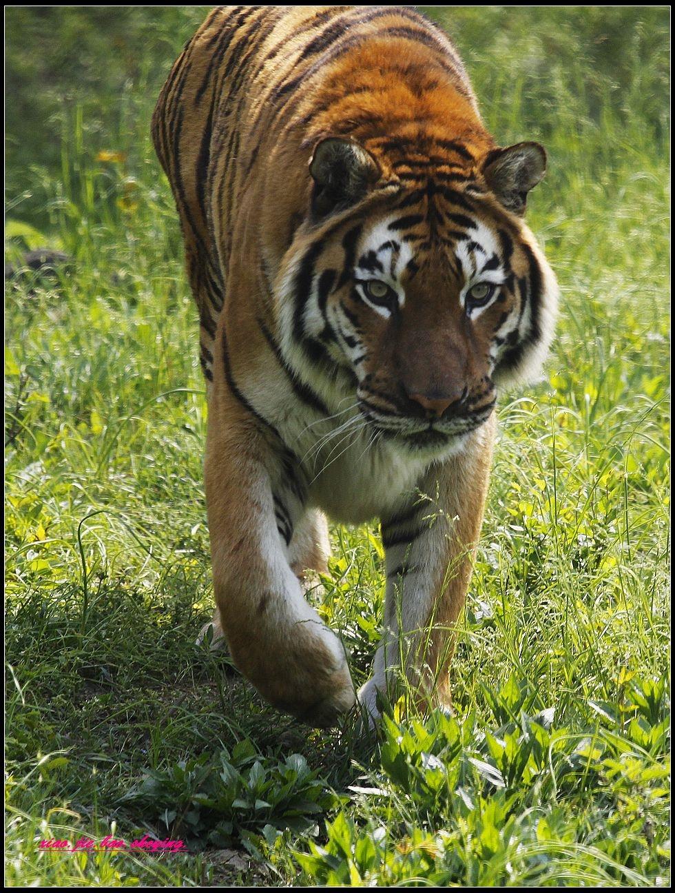 -合肥野生动物园拍的虎
