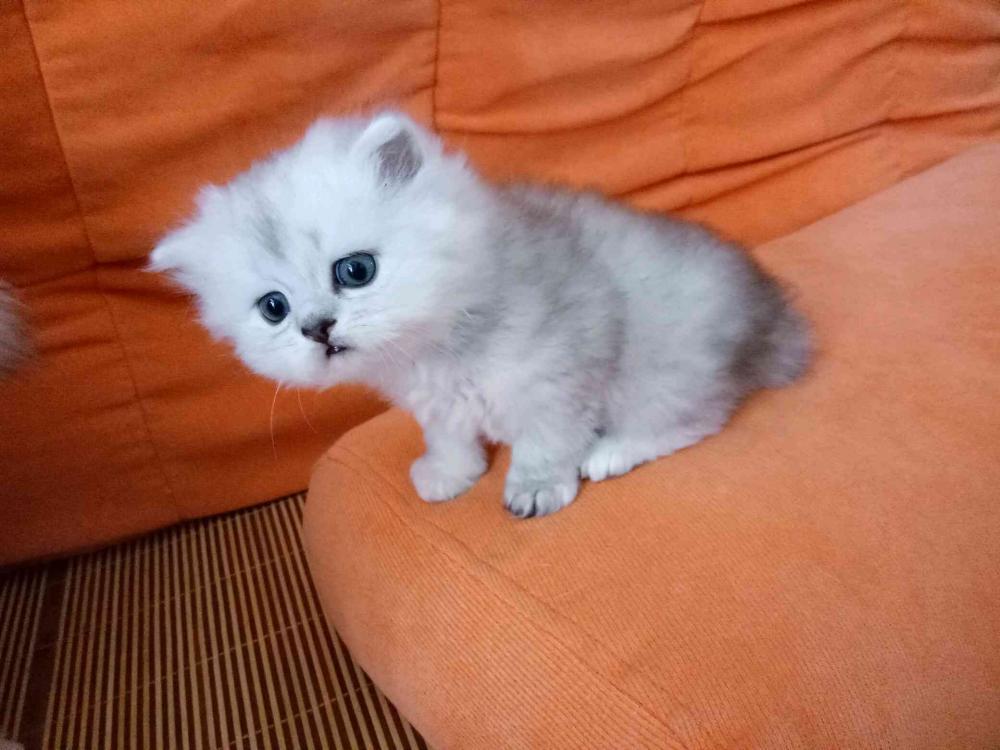家养金吉拉小萌猫 找新主人