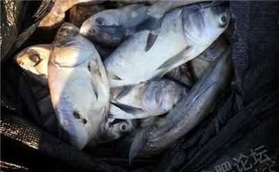 【爆料】天鹅湖鱼儿集体暴毙 死鱼发出恶臭