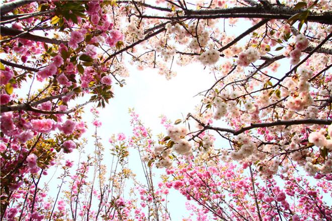 樱花节03.jpg