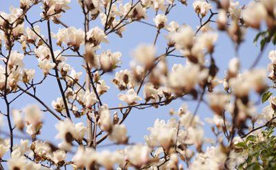 组图:合肥市花玉兰花已开,百家乐快来领略她的美