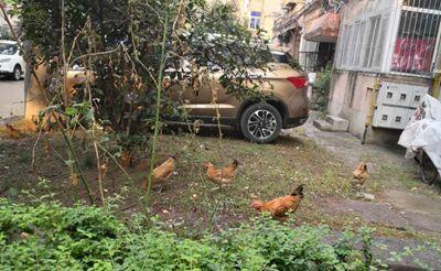 【郁闷】小区里养鸡,看山湖新村小区太乱了