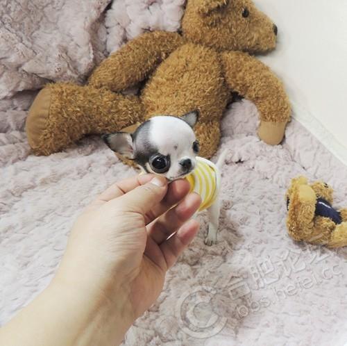 茶杯犬,墨西哥苹果头吉娃娃