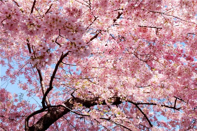樱花节06.jpg