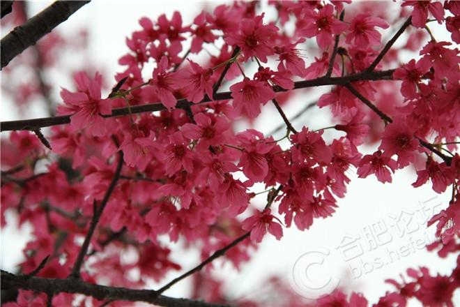 樱花节01.jpg