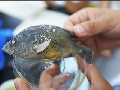 六安遭外来鱼入侵